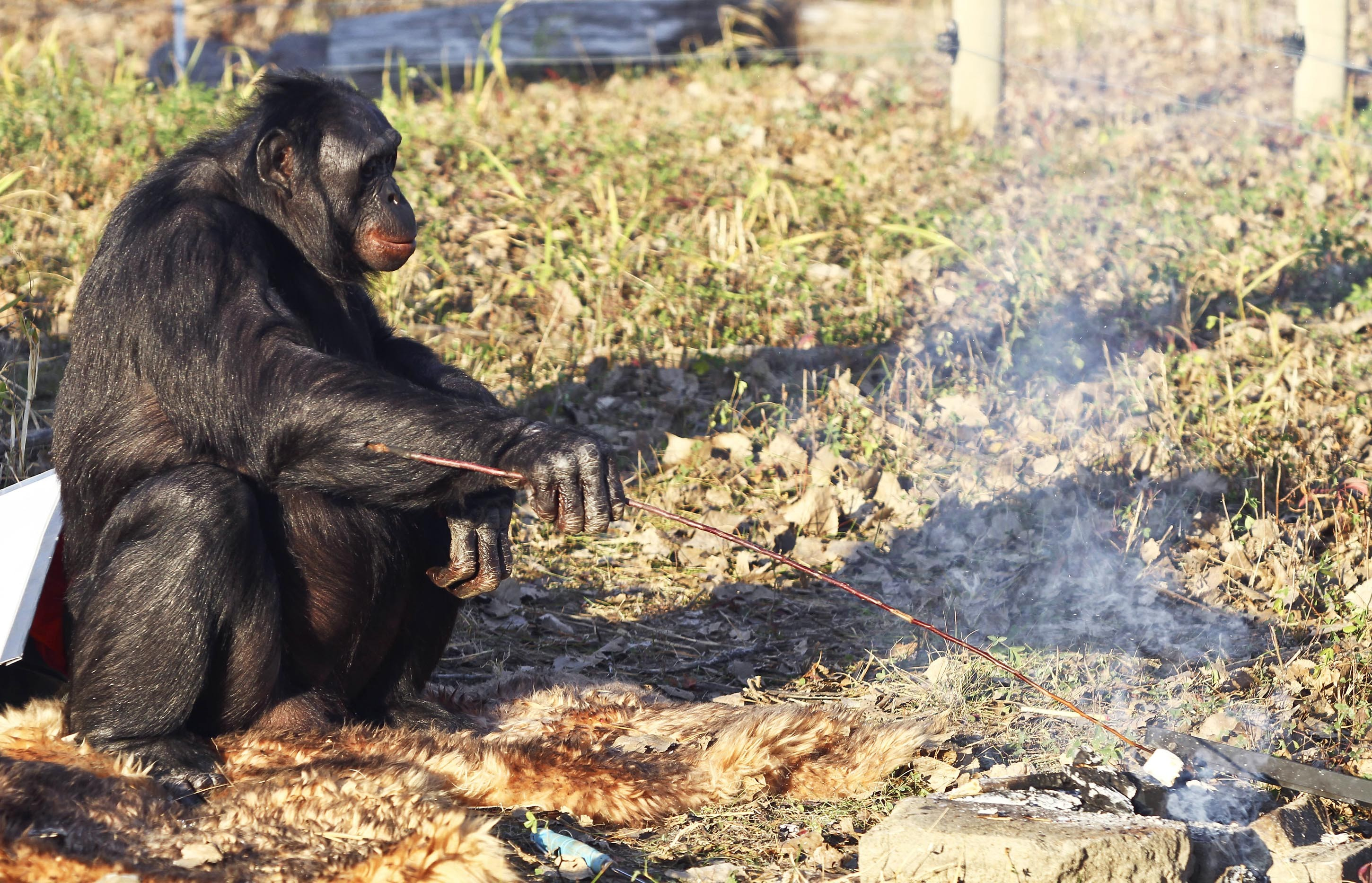 BONOBO CHIMPANZEE KANZI MAKES CAMPFIRES