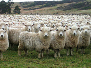 Sheep_herd