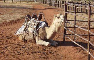 Camel_630.jpgx